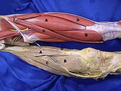 The Lower Limb - Great Saphenous Vein, dissection - MGA Lab 1 - LMU