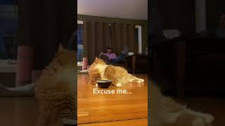 Cat Bangs Their Food Bowl On Floor To Indicate They Are Hungry To Their Owners  11867471