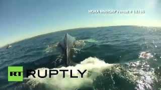 Sea Battle: Rescuers free whale caught in fishing net in California.