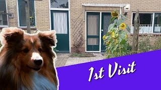 My Shetland Sheepdog 1st visit to her new home