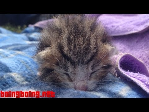 Kitten, 9 days old, crying with maximum cuteness