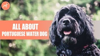 Portuguese Water Dog: Things You Need To Know Before Getting One