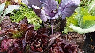 상추 치커리 케일,상자,스티로폼,페트병에 잘 가꾸어 수확하는 방법