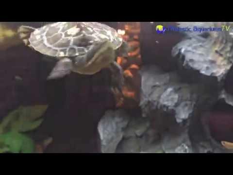 DANCING Turtle - Murray River Turtle