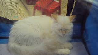 Белая кошка.Крепкий сон))