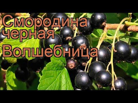 Смородина черная Волшебница (volshebnitca) 🌿 обзор: как сажать, саженцы смородины Волшебница
