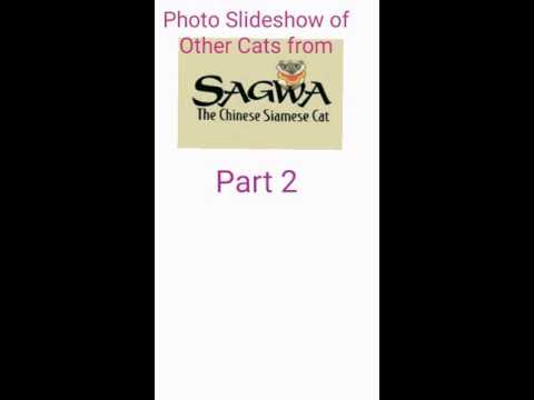 Photo Slideshow of Other Cats from Sagwa the Chinese Siamese Cat (Part 2)