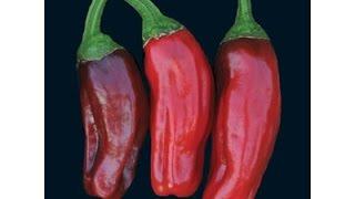 ⟹ Italian Pepperoncini Pepper, Capsicum annuum PLANT REVIEW #pepper