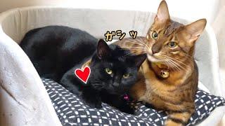 イケメンベンガル猫とおっとり黒猫はイケナイ関係?