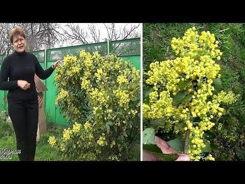 Цветущие кустарники для сада Магония падуболистная