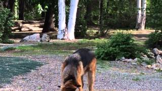 Bruno The German Shepherd Puppy Update & Crazy Windstorm Af