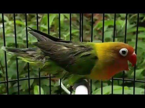 Lovebird konslet mesam mesem ngekek gaya robot