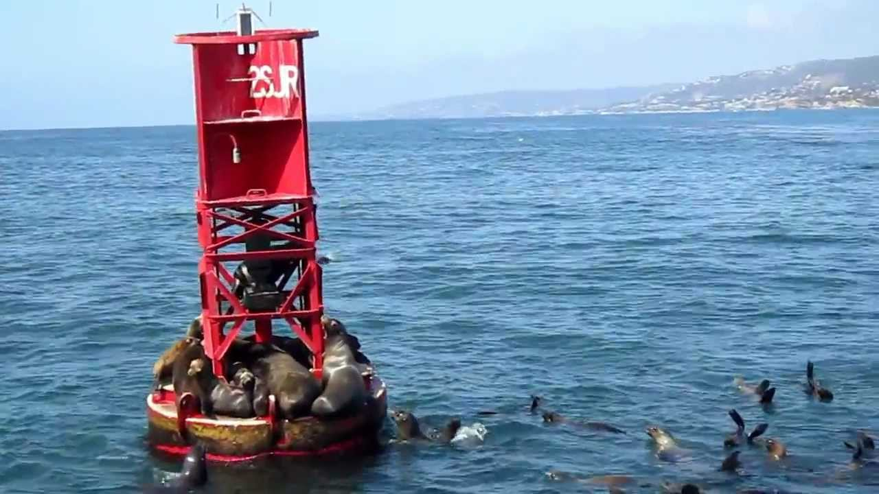 200 sea lions trying to get on a buoy youtube