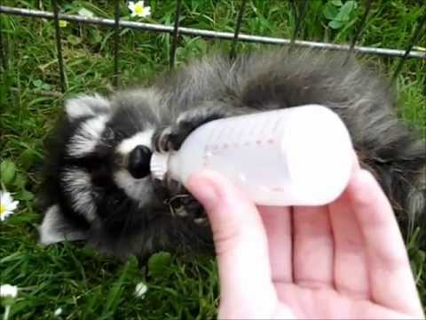 free hq baby raccoon - photo #30