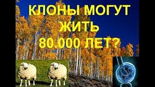 Клонирование человека и огромный клон, живущий 80.000 лет