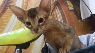 """Абиссинские кошки, питомник """"ЕЛЕНА""""."""