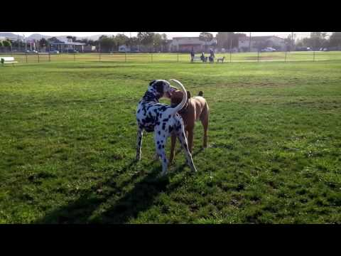 Dalmatian vs Boxer
