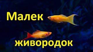 Аквариум дома для живородящих рыбок.