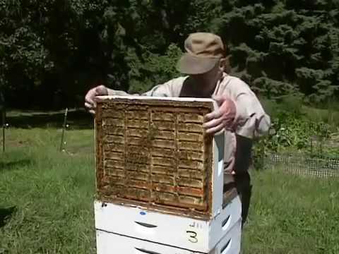 мед осотовый