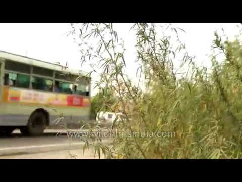 Marijuana taller than a bus grows on roadside in India