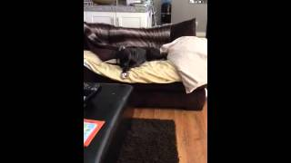 Buster The Baby Boxer Gets The Zoomies