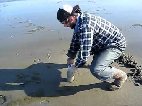 Razor clam, Washington state, Ocean Shores, Technique ...