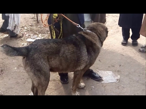 Peshawar Dogs Market