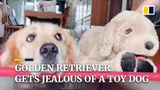 Golden retriever gets jealous of his master petting a toy dog in China