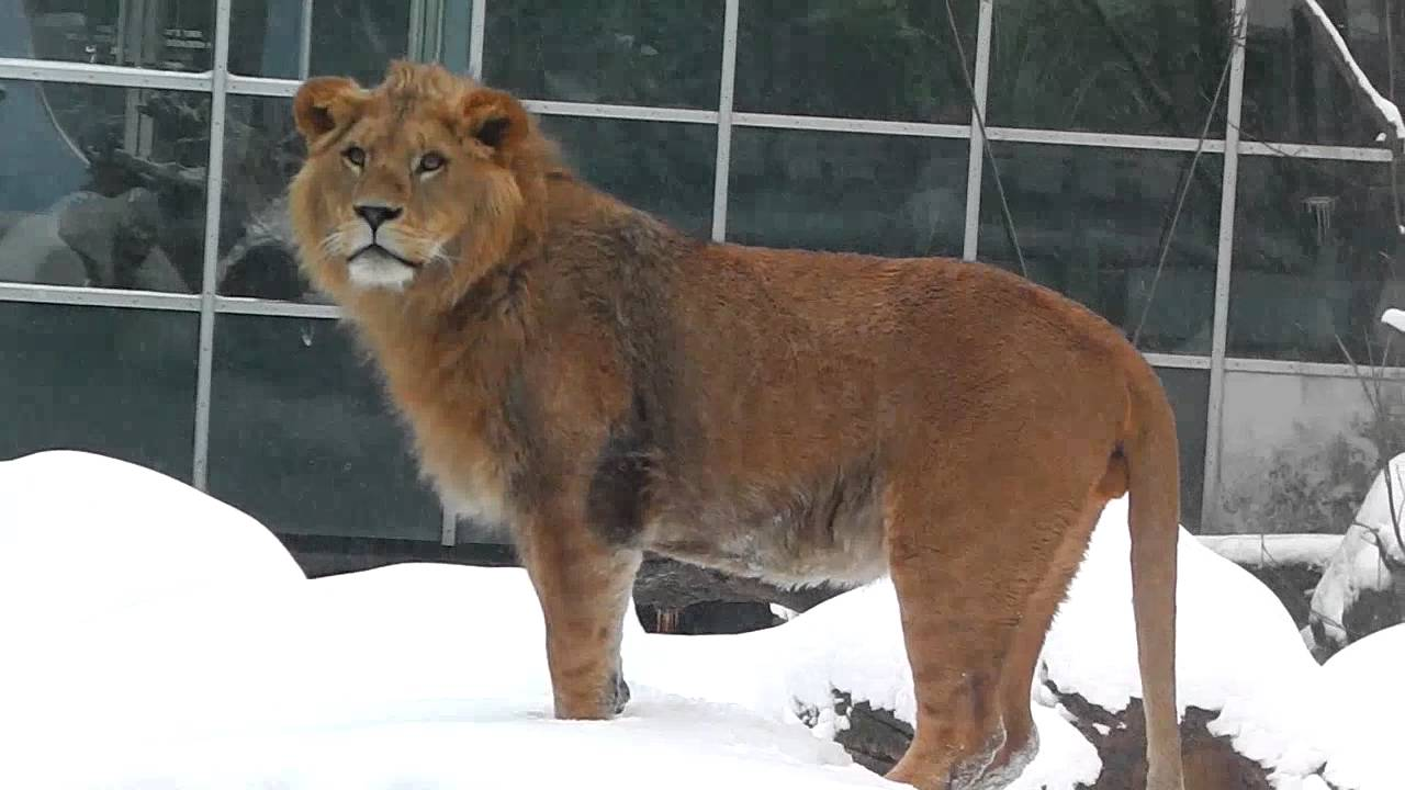 Asiatische Lions lions elephants lynxes winter s back with
