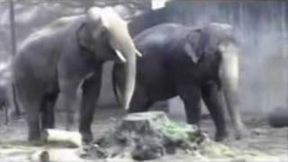 Elephant has trouble with his cumshot | totallycrapcom
