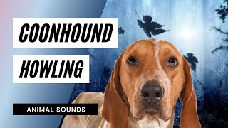 The Coonhound Video for Children: #Coonhound #Howling - #SoundEffec...