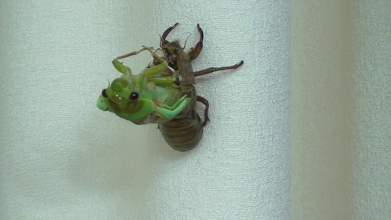 cicada nymph - photo #43