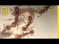 'T. rex' Ant Found Alive for First Time (Rare Species) | National Geographic