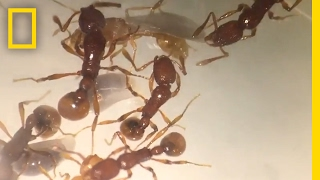 'T. rex' Ant Found Alive for First Time (Rare Species) | National Geographic thumbnail