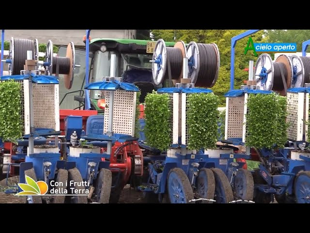 Puntata del 2/5/21 – 2° parte –  Pomodoro da industria: trapianti satellitari