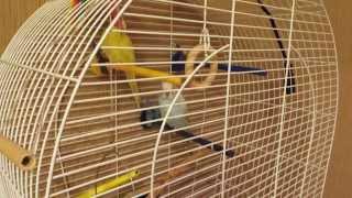 Тоша - говорящий попугай