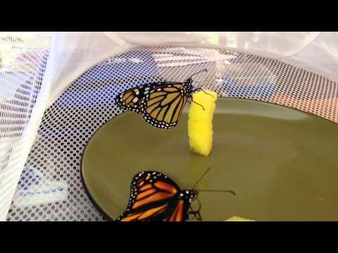 Feeding Monarchs Butterflies before release