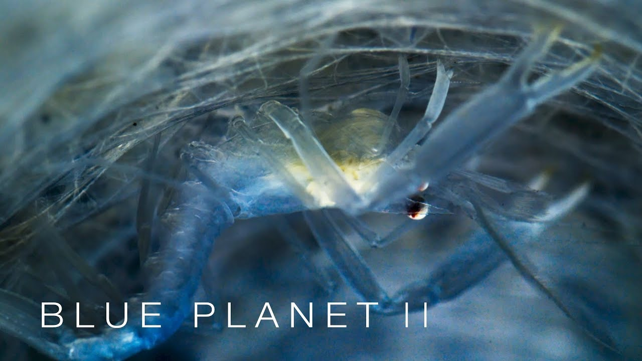 The love story of Venus' flower basket - Blue Planet II: Episode 2 - BBC One