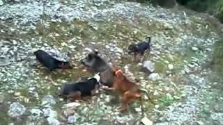 Repeat youtube video Αγριογούρουνο δαγκώνεται από κυνηγόσκυλα