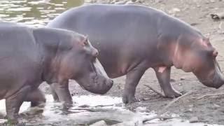 Namibia: Hippos (Flusspferde) wollen zum Gras-Land