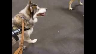 狼犬レイラと、狼犬ソレイユ君とのじゃれ合いです。
