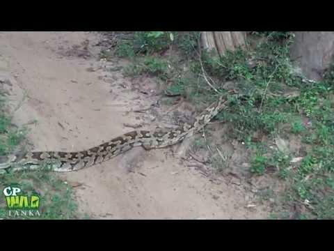 Python (Wilpattu national park )