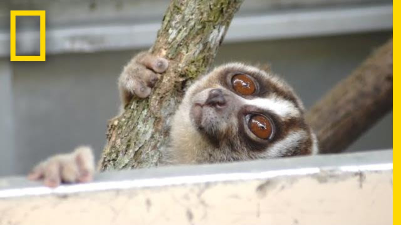 Rescuers Release 20 Javan Slow Lorises Back Into The Wild | National Geographic