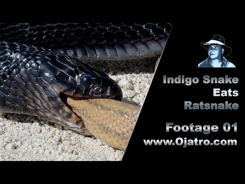 Indigo Snake Eats Rat Snake 01 Stock Footage