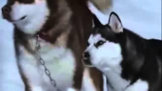 Alaskan Malamute & Siberian Husky Tribute