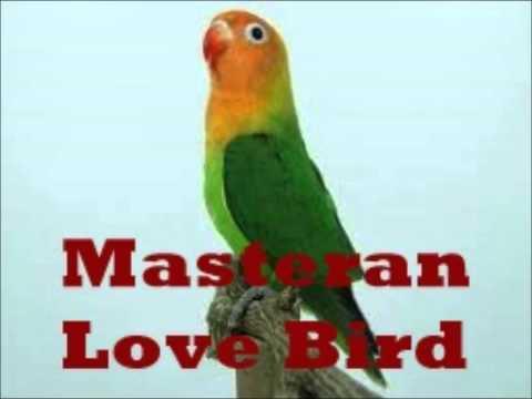 masteran burung love bird ngekek panjang bikin bising
