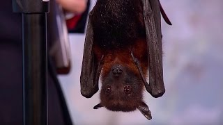 Why Do Bats Live So Long? | Dara Ó Briain's Science Club | Brit Lab | BBC