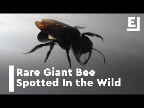 World's Largest Bee From Indo Jungle Is Worth A Look [Video]