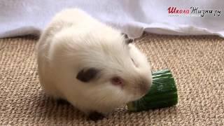 видео Где купить морскую свинку