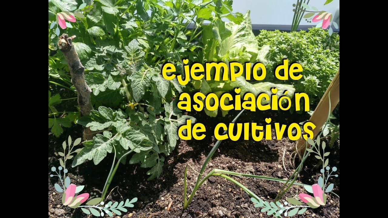 ejemplo asociaci n cultivos en huerto urbano como asociar
